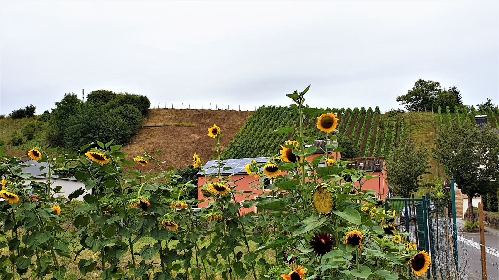 La strada del vino lungo la Mosella